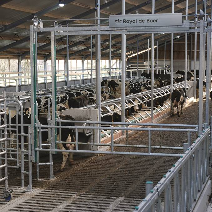 LIFTING FENCE FOR COW HANDLING AND SEPARATION